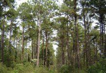 Forestación Pino para obtención de Madera