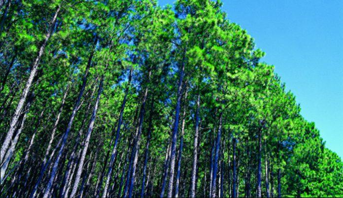 forestación pino
