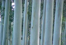 eucalyptus-grandis-entre rios