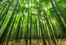 bosque-bambu