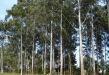 plantacion eucaliptus grandis