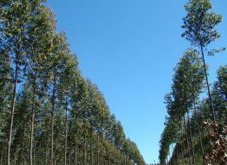 forestacion eucaliptus Entre Ríos
