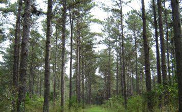 bosque-pino
