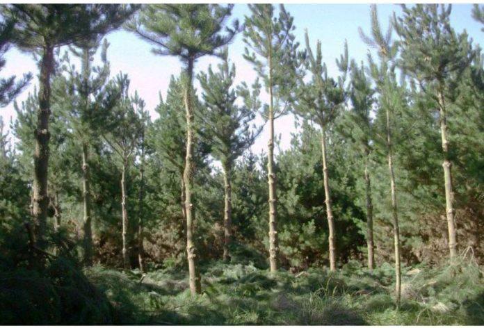 pino radiata en buenos aires