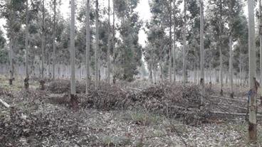 eucalipto densidades plantación