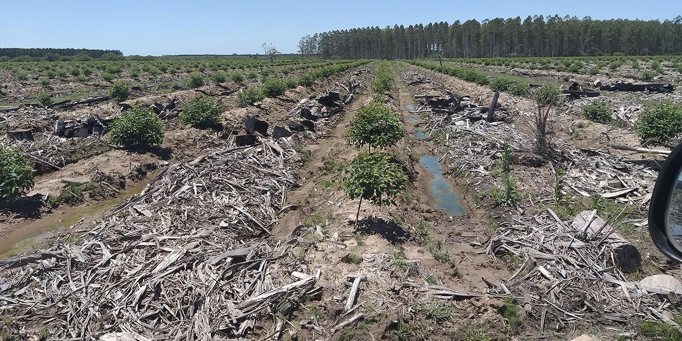 eucalipto preparacion suelo plantacion