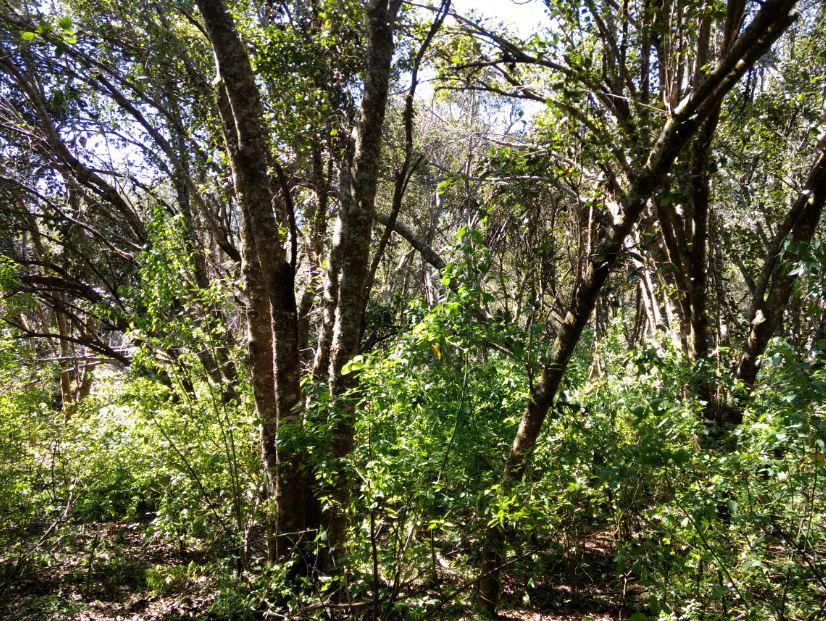 El radal bosques andino-nordpatagónicos