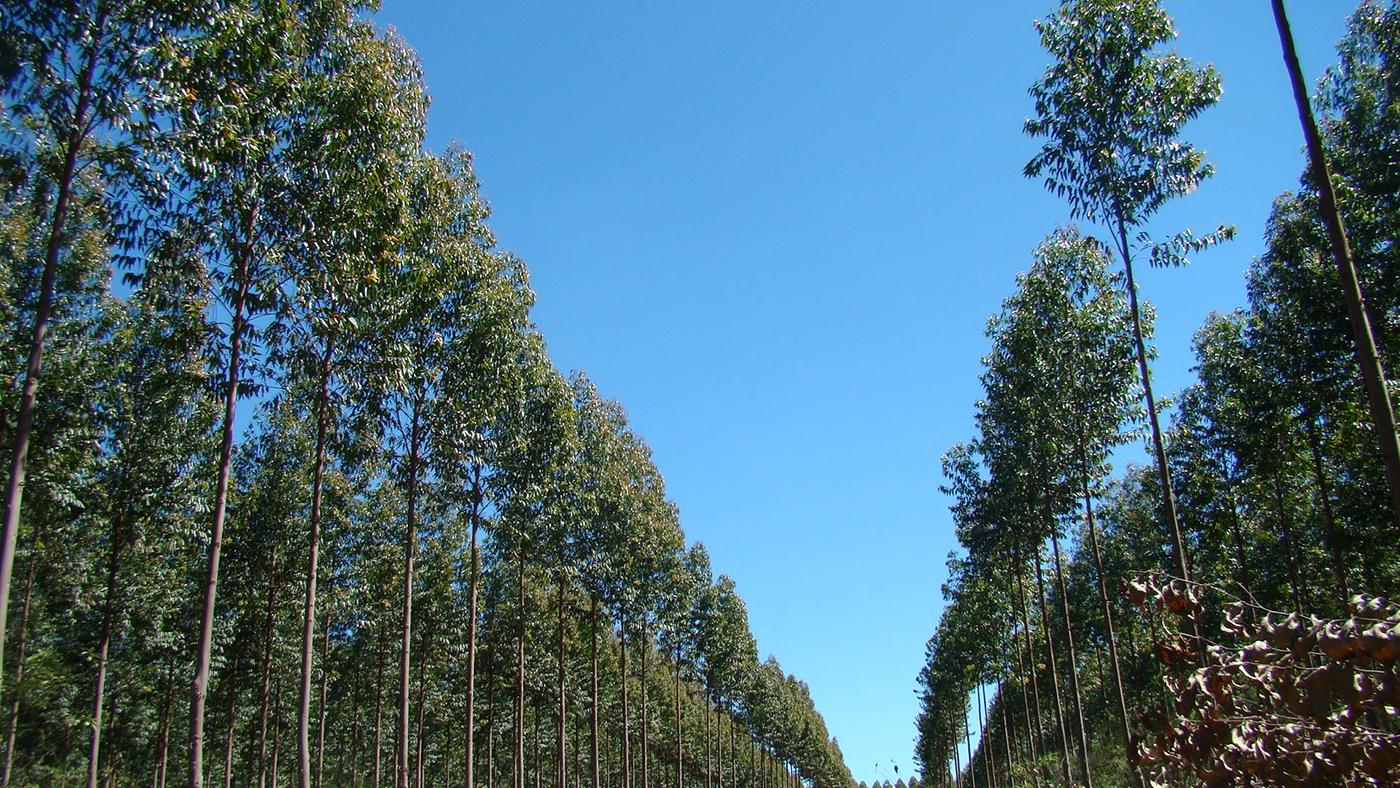 Control malezas Eucalyptus grandis