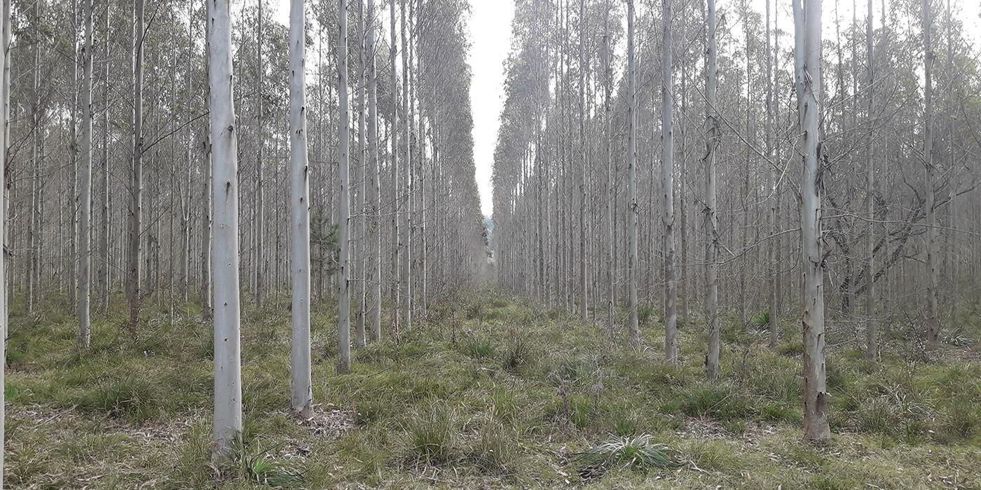 eucalipto especies y clones