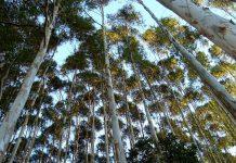 eucalipto-bosque