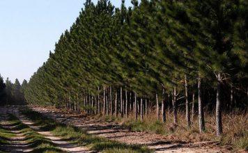 forestacion pino