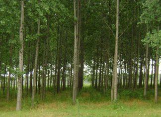 forestaciones alamo